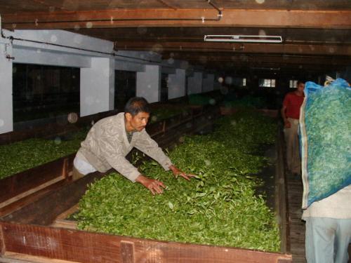 紅茶の発酵
