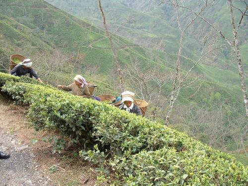 紅茶は農作物