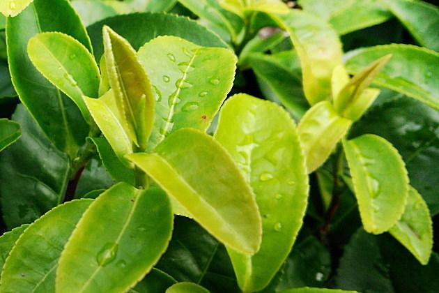 お茶の新芽と若葉