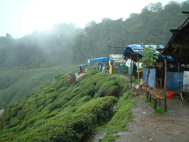 インドダージリンの茶園