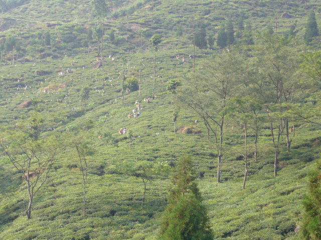インドの茶園