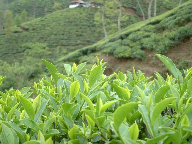 ダージリンの茶園